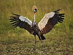 oiseaux campagne African Crowned Crane Masai Mara Kenya jpg