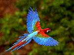 oiseaux exotique Red and Green Macaw in Flight Brazil jpg