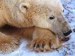 ours polaire polar bears 1 jpg
