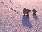 ours polaire polar bears 11 jpg