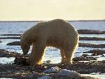 ours polaire polar bears 15 jpg