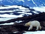 ours polaire polar bears 18 jpg