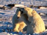 ours polaire polar bears 2 jpg