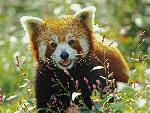 ours Firefox, Red Panda jpg
