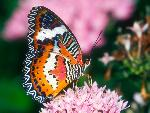 papillon Red Lacewing Butterfly jpg