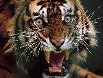 tigre tigers  2 jpg