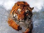 tigres Tiger 4 jpg