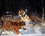 tigres Tiger1 jpg