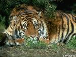 tigres Tiger32 jpg