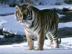 tigres Tiger34 jpg