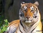 tigres Tigers 2 jpg