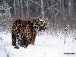 tigres Tigers 3 jpg