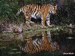 tigres Tigers 4 jpg