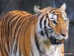 tigres Tigers 5 jpg
