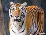 tigres Tigers 6 jpg