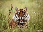 tigres Tigers 7 jpg