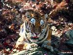 tigres Tigers 8 jpg