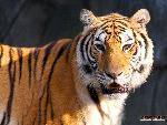 tigres Tigers 9 jpg
