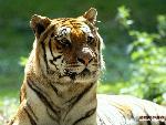 tigres Tigers 1 jpg