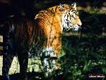 tigres Tigers 12 jpg