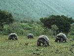 tortues Giant Galapagos Tortoises Isabela Island Galapagos jpg