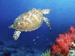 tortues Green Sea Turtle Malaysia jpg