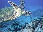 tortues Green Sea Turtle jpg