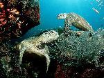 tortues Green Sea Turtles jpg