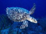 tortues Hawksbill Turtle jpg