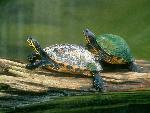tortues Log Jumping Peninsula Cooter Turtles jpg