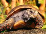 tortues Red Foot Tortoise jpg