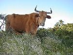 vache cow 2 jpg