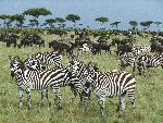 zebre Burchell s Zebra and Blue Wildebeest Kenya Africa jpg