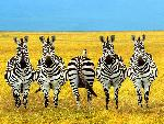 zebre Dare to be Different jpg