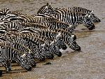 zebre Herd of Burchell s Zebra Drinking Mara River Masai Mara Kenya jpg