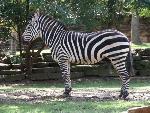 zebre zebra   jpg