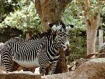 zebre zebra  2 jpg