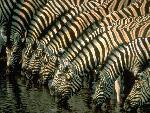 zebre zebra  7 jpg