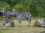zebre zebra  8 jpg