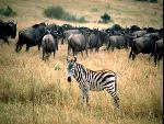 zebre zebra  9 jpg