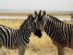 zebre zebra 1 jpg