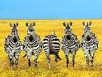 zebre zebra 11 jpg