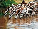 zebre zebra 12 jpg