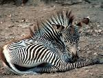 zebre zebra 13 jpg