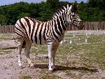 zebre zebra 15 jpg