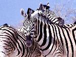 zebre zebra 16 jpg