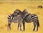zebres zebres  1 jpg