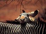 zebres zebres  2 jpg