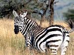 zebres zebres  3 jpg