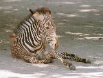 zebres zebres  4 jpg